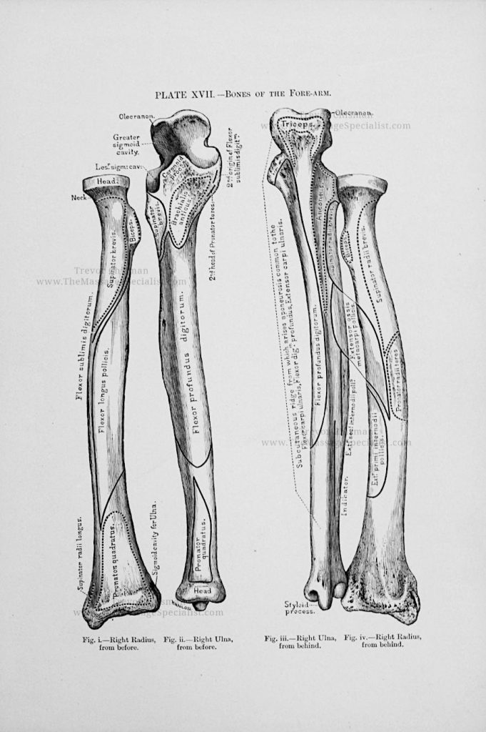 Artistic Anatomy Plate 17