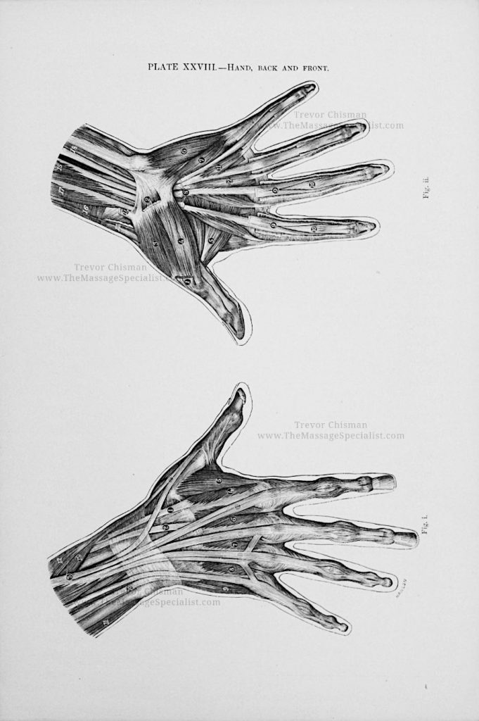 Artistic Anatomy Plate 28