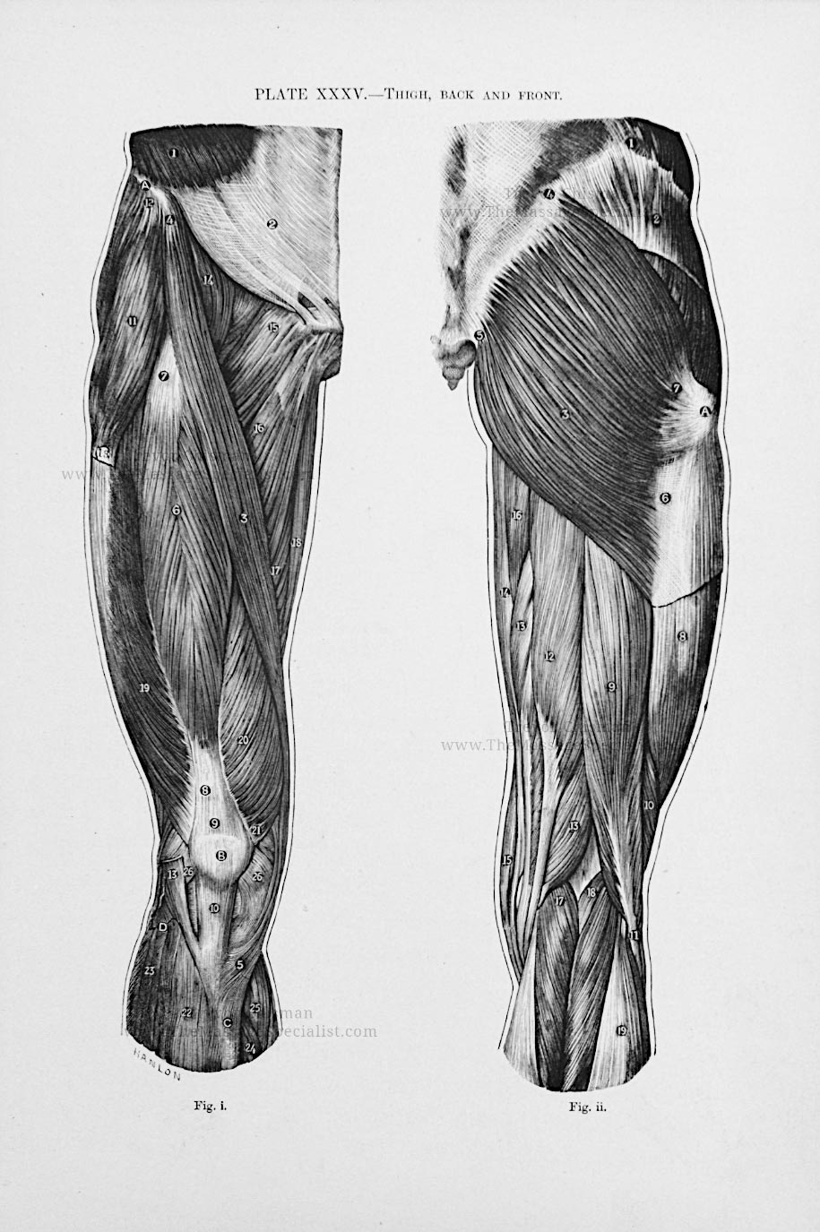 Artistic Anatomy Plate 35