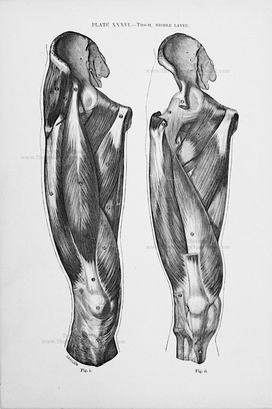 Artistic Anatomy Plate 36