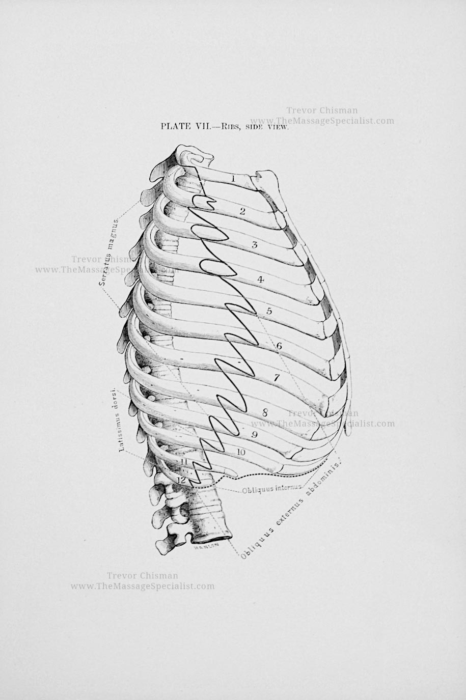 Artistic Anatomy Plate 7