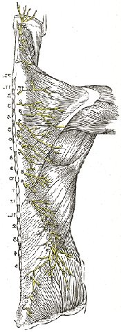 Cutaneous Nerves of the Back
